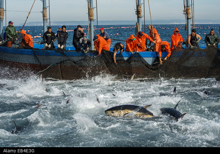 Spanish fishermen haul in tuna that they have trapped in a maze of nets.